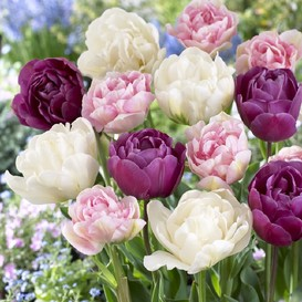 Tulip Bulbs - Double Pink Mix