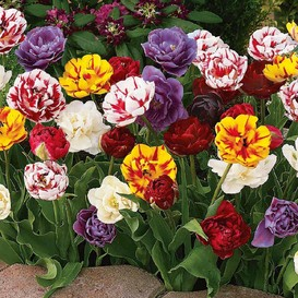 Tulip Bulbs - All Double Mix