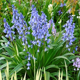 Hyacinth Bulbs - Blue Wood Hyacinth