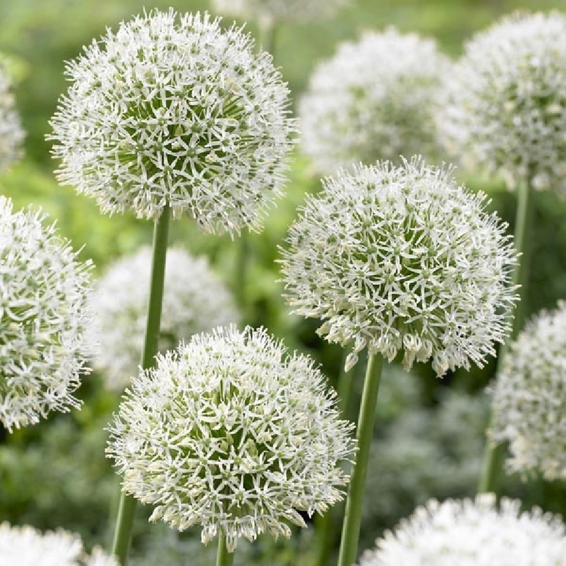 Allium Bulbs (Giant) - Mont Blanc