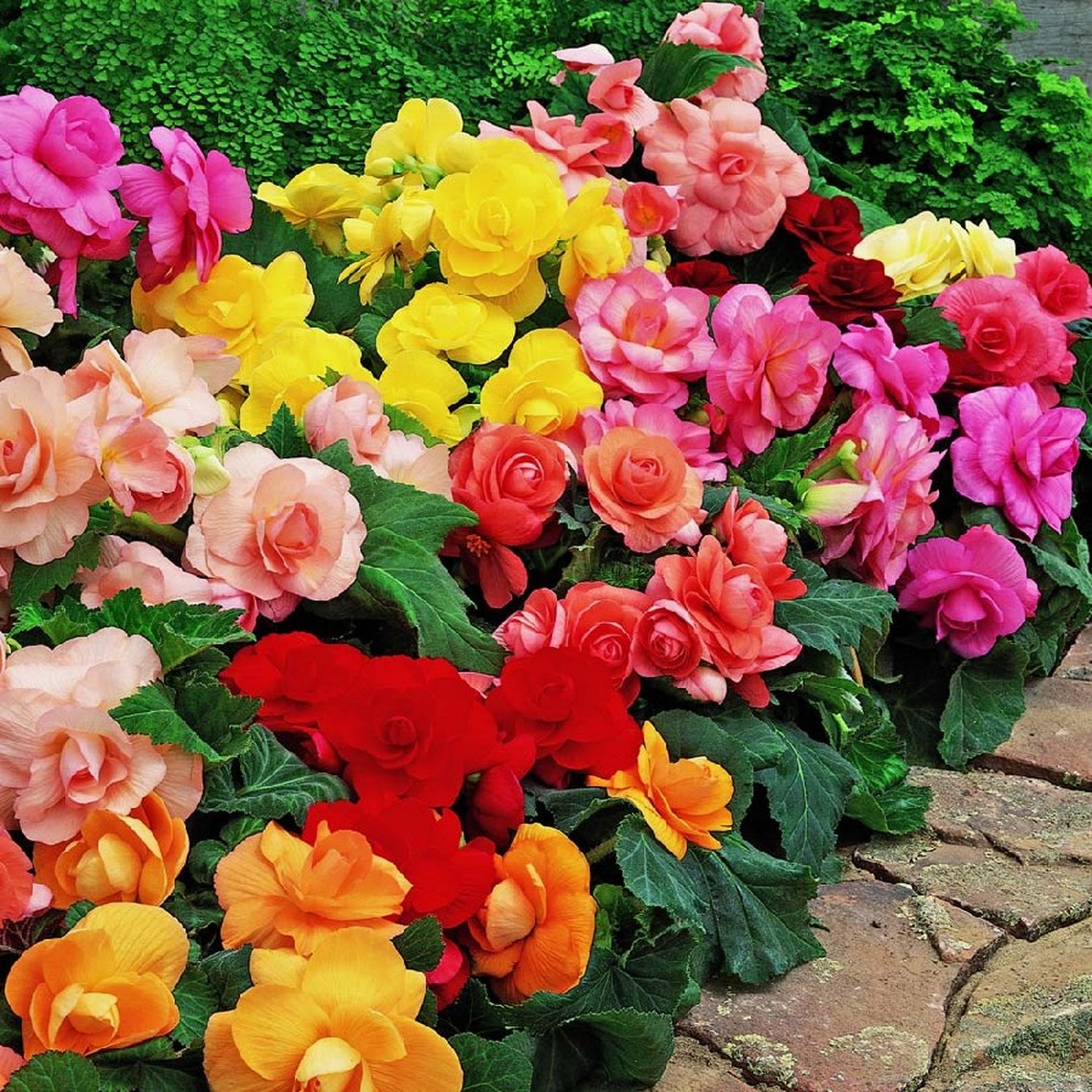Begonia Tubers - Roseform Mix - Bag of 25