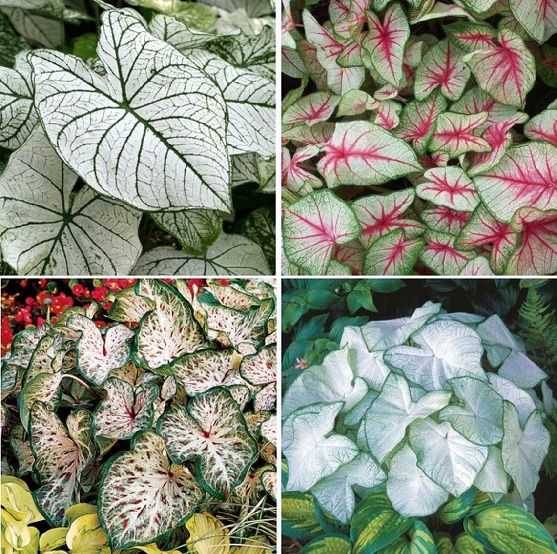 Caladium Bulbs - White Mix