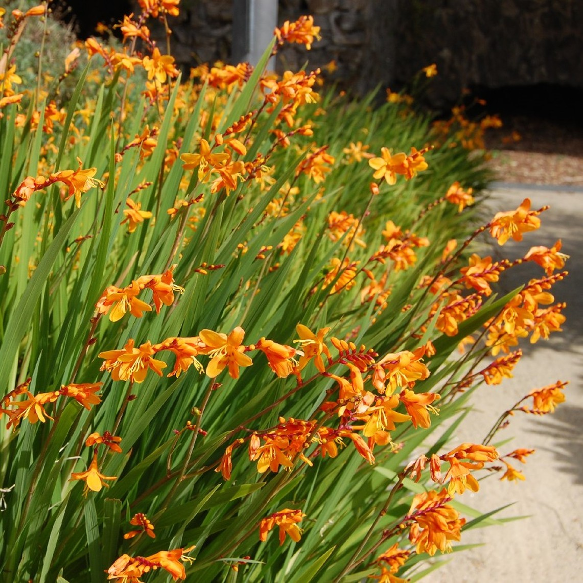 Crocosmia Bulbs - Emberglow