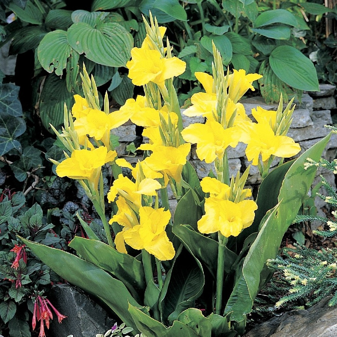 Canna Lily Bulbs - Richard Wallace - Bag of 10