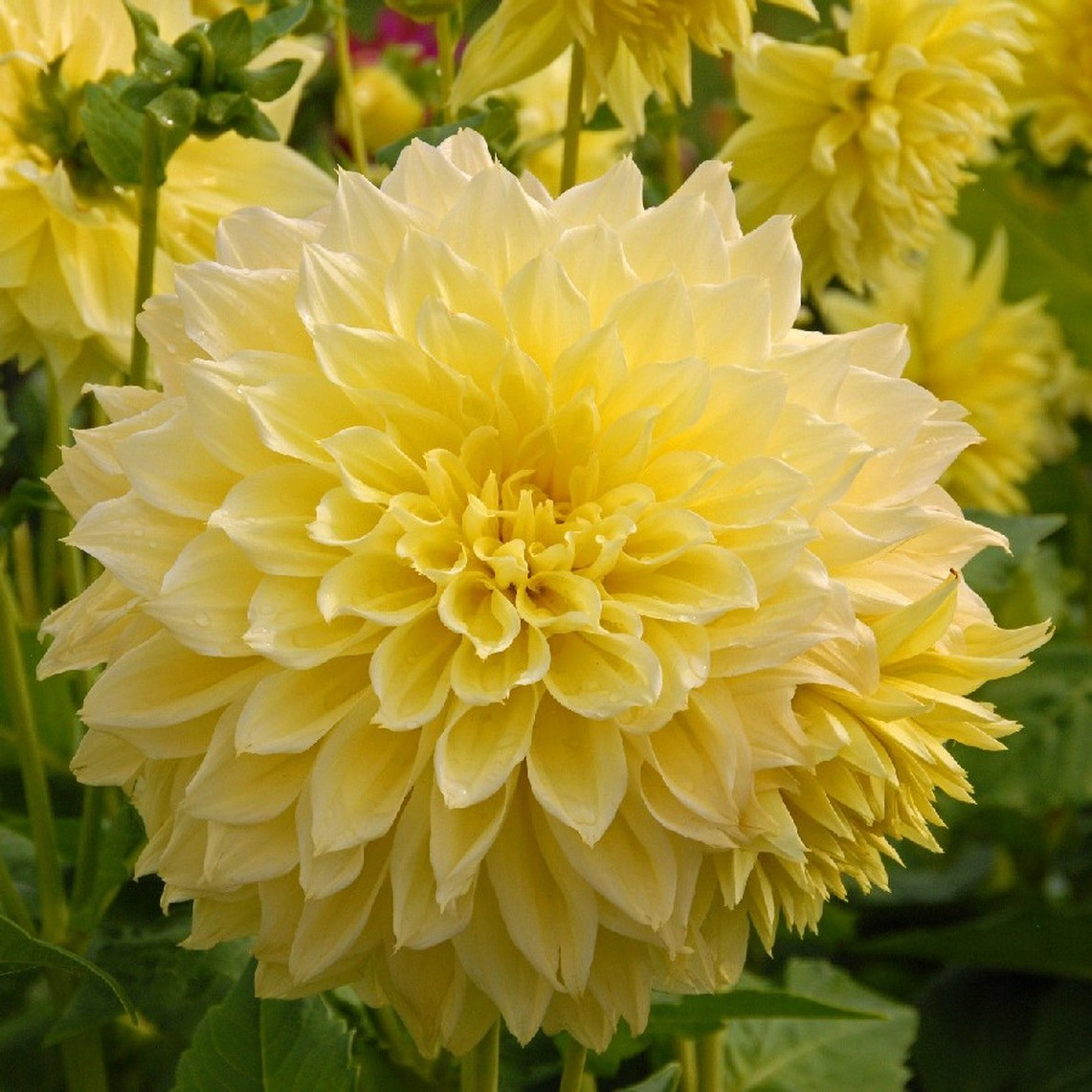 Dahlia Bulbs (Dinnerplate) Kelvin Floodlight