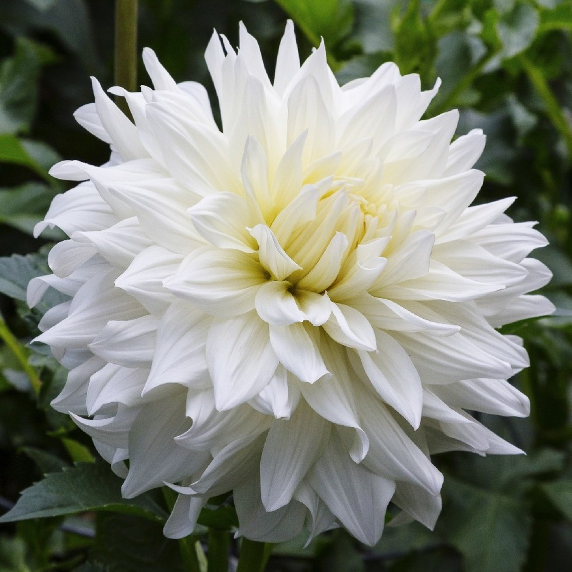 Dahlia Tubers (Dinnerplate) - Snowbound