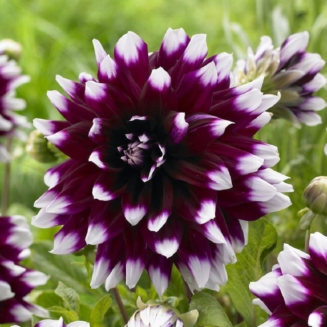Dahlia Bulbs (Dinnerplate) Mystery Day