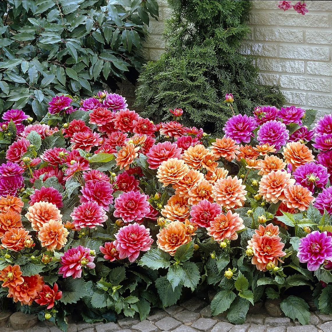 Dahlia Tubers - Border Mix