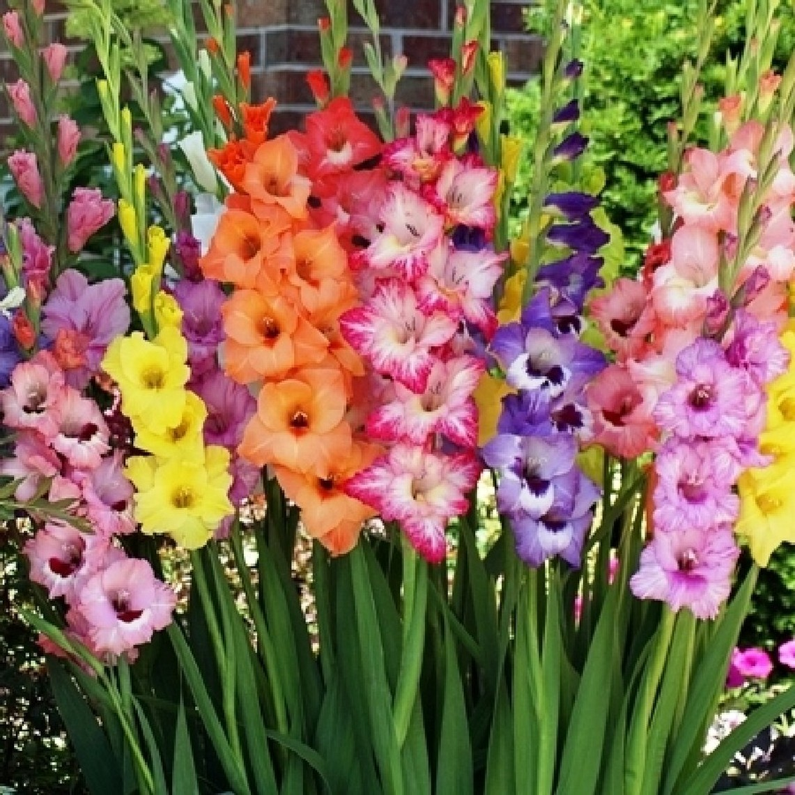 Gladiolus Flower Bulbs - Rainbow Mix