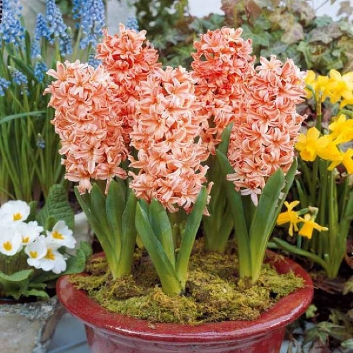 Hyacinth Bulbs - Gypsy Queen - Bag of 10