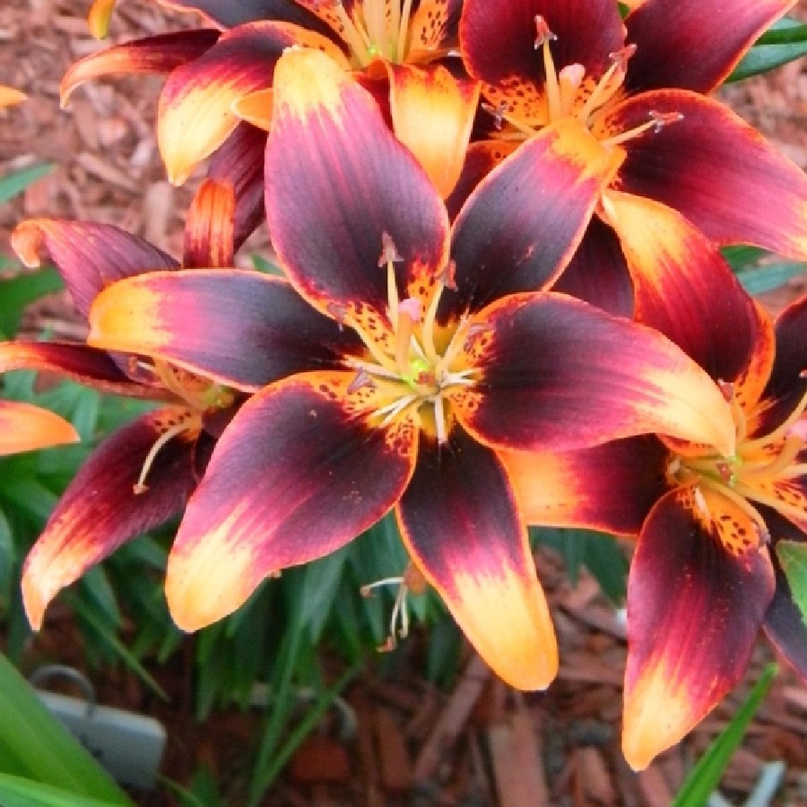 Asiatic Lily Bulbs - Starlette