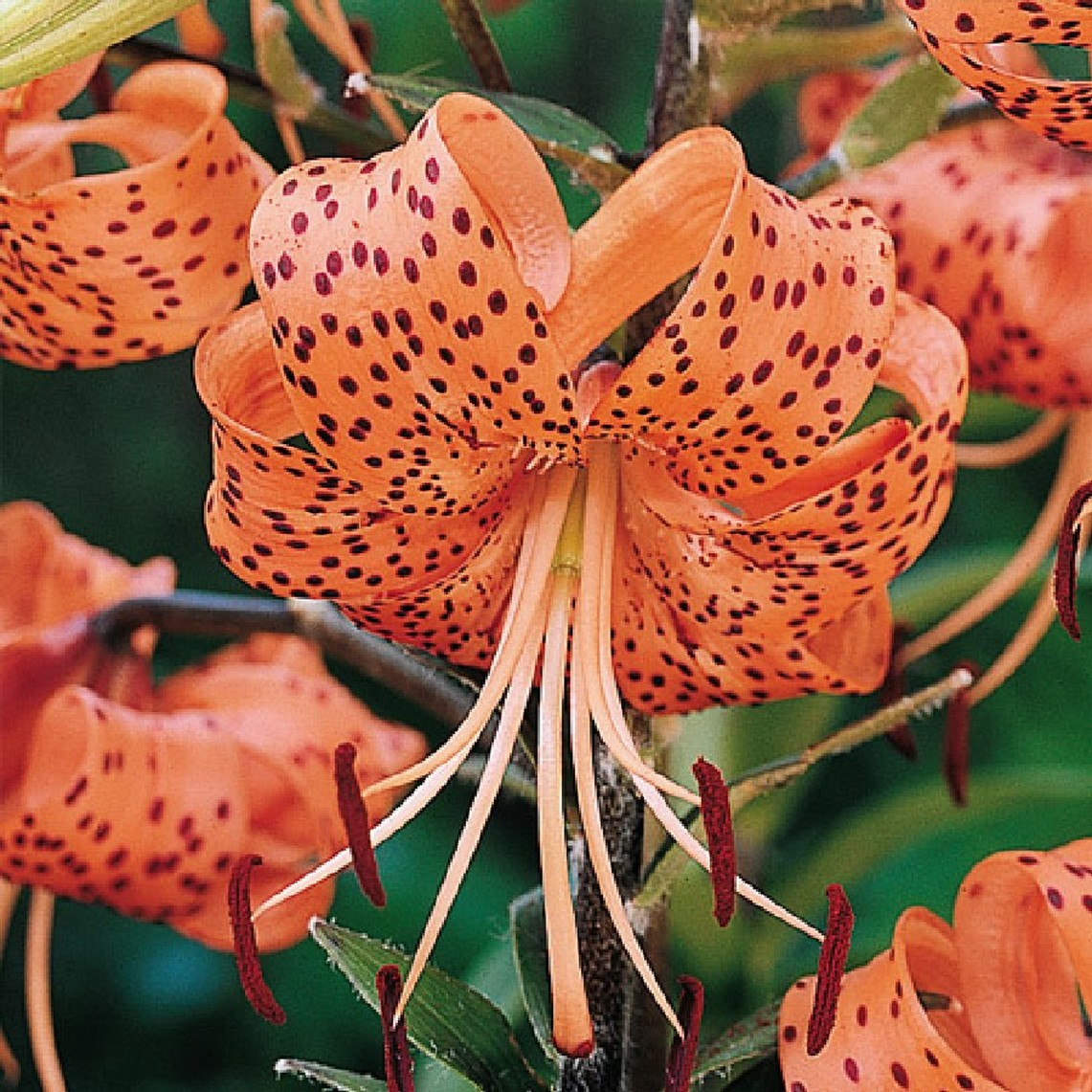 Tiger Lily Bulbs Spring Planted Tigrinum Splendens