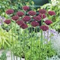 Allium Bulbs (Tall) - Atropurpureum - Bag of 50