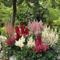 Astilbe Roots - Mix - Bag of 10