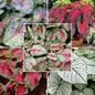 Caladium Bulbs - Fancy Leaf Mix