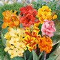 Canna Lily Bulbs - Dwarf Mix