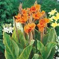 Canna Lily Bulbs - Pretoria