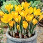 Crocus Bulbs (Large Flowering) - Yellow Mammoth - Bag of 100