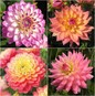 Dahlia Bulbs - Melody Mix