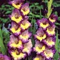 Gladiolus Flower Bulbs - Dynamite
