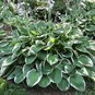 Hosta Roots (Fall-Planted) - Francee