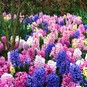 Hyacinth Bulbs - Mix - Bag of 10