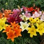 Asiatic Lily Bulbs - Mix