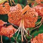 Tiger Lily Bulbs - Tigrinum Splendens