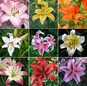 60 Days of Lilies - Long Lasting Lily Bulb Mix
