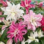 Double Oriental Lily Bulbs - Mix