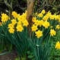 Daffodil Bulbs (Trumpet) - Dutch Master