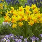 Daffodil Bulbs (Miniature) - Jetfire
