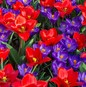 Red & Blue Fireworks Collection - Crocus & Tulip Mix