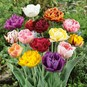Tulip Bulbs - Double Late Mix - Bag of 10