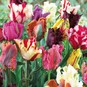 Tulip Bulbs - Parrot Mix - Bag of 20