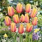 Tulip Bulbs - Blushing Beauty