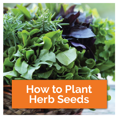 How to plant herb seeds