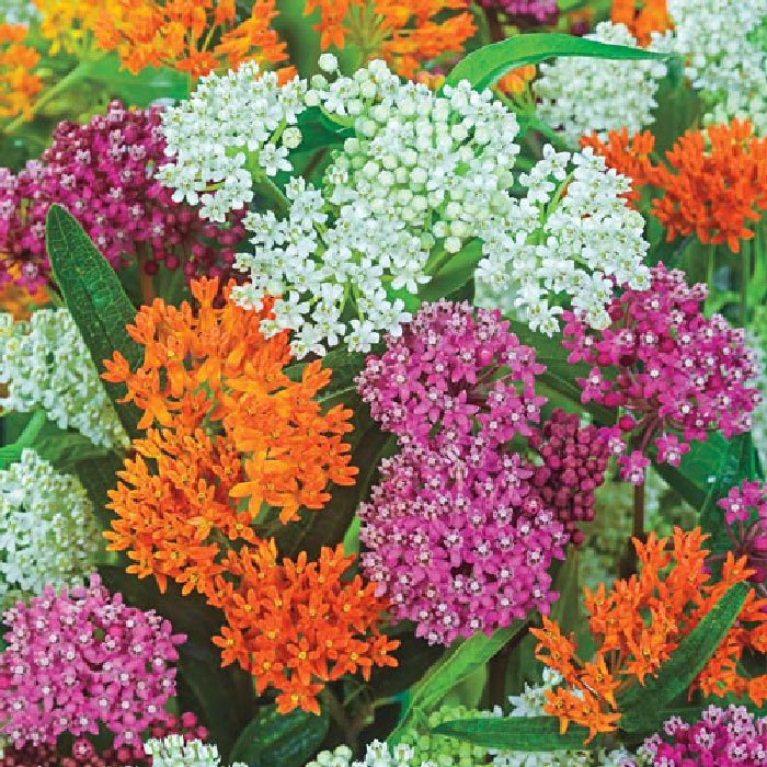 Asclepias Seeds - Mix