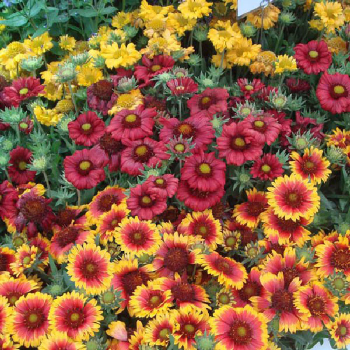 Blanket Flower Seeds - Single Mix