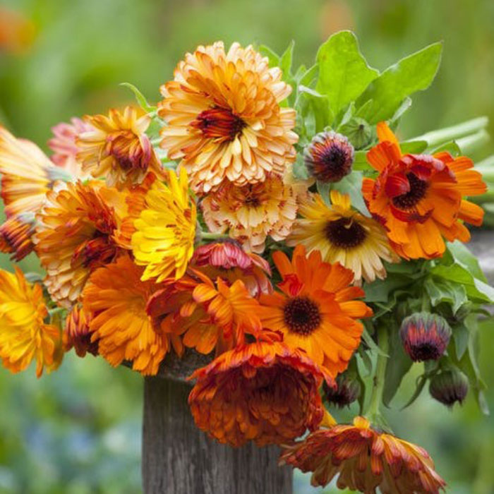 Calendula Seeds - Sunset Mix