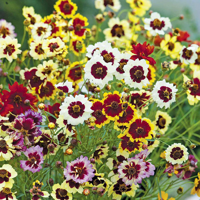 Coreopsis-Incredible-Dwarf-Mix-1