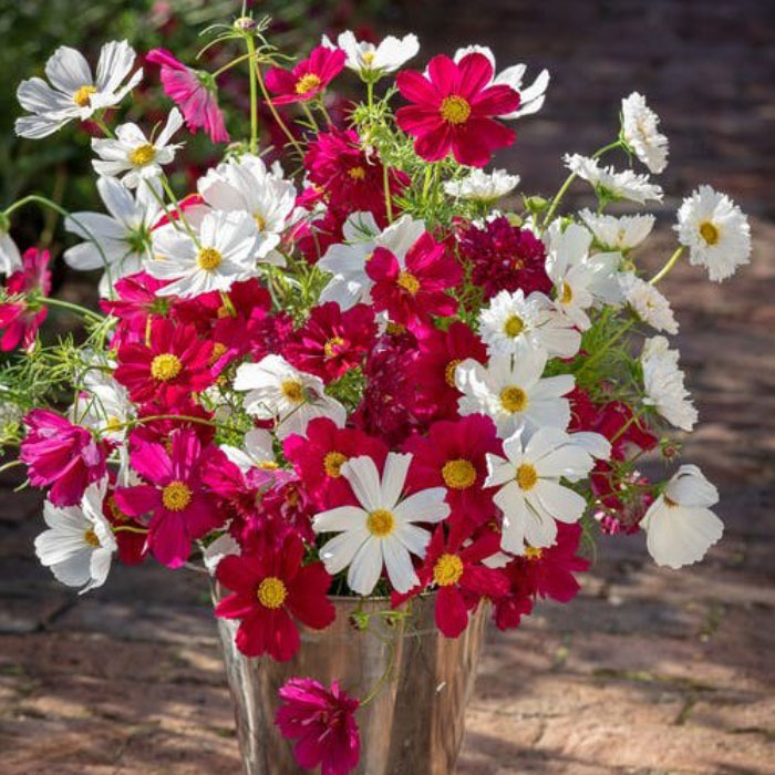 Cosmos Seeds - Hot Pink & White Mix