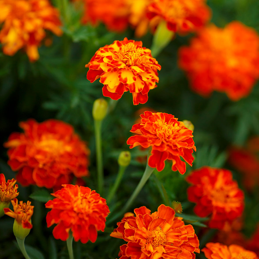 French Marigold Seeds - Panther