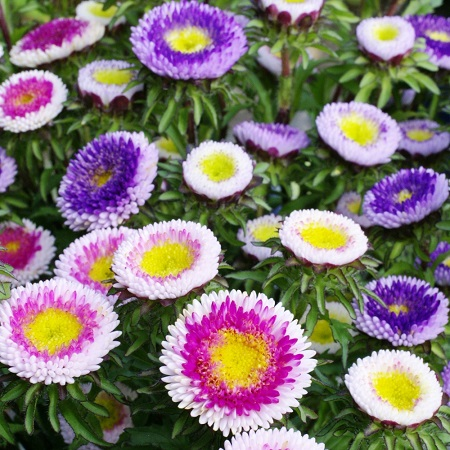 Aster Seeds (Pompon) - Hi-No-Maru Mix