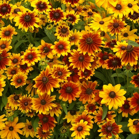 Black Eyed Susan Seeds (Dwarf) - Rustic Mix