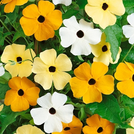 Black Eyed Susan Seeds - Vine Mix
