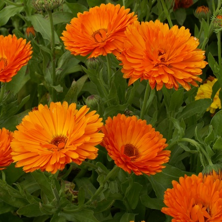 Calendula Seeds - Geisha Girl