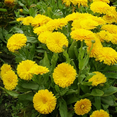 Calendula Seeds (Dwarf) - Golden Gem
