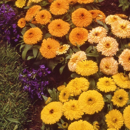 Calendula Seeds (Dwarf) - Gem Mix