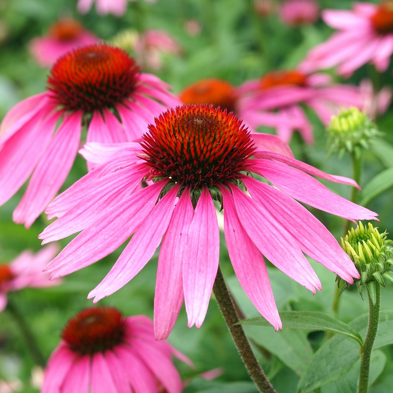 Purple Coneflower Seeds Echinacea Echinacea Purpurea